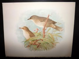 Butler, Frohawk & Gronvold 1908 Antique Bird Print. Barred Warbler 20